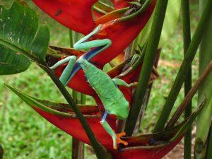 Costa Rica kikker